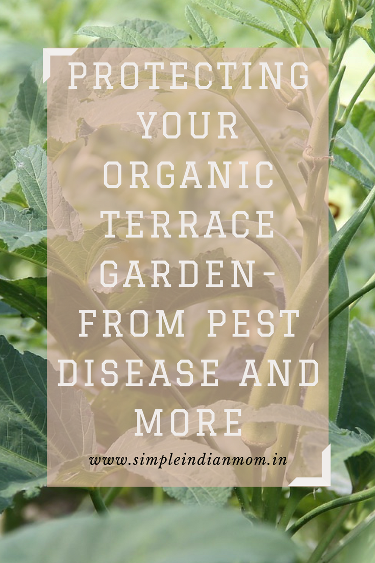 Protecting Your Organic Terrace Garden- From Pest Disease and More