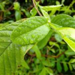 Guava Leaf Concoction – The Best Hair Fall Treatment You Should Try