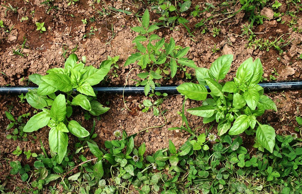 Watering Your Organic Terrace Vegetable Garden