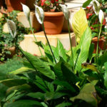How To Take Care Of Peace Lilies - Growing Peace Lilies Indoors