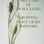 How To Take Care Of Peace Lilies - Growing Peace Lilies Indoors 1