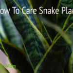 How To Care Snake Plant