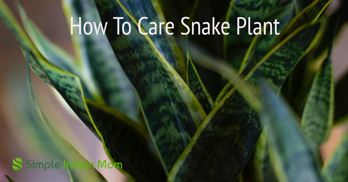 snake plant is an important indoor plant that needs less yet proper care
